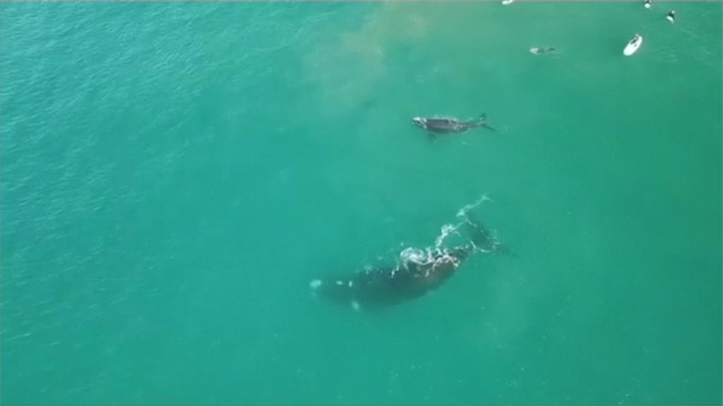座頭鯨護子心切!潛客被打到肋骨斷裂