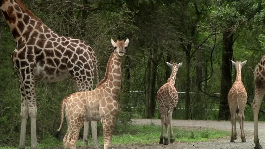 搶救瀕臨絕種動物!兩間動物園合作創「嬰兒潮」