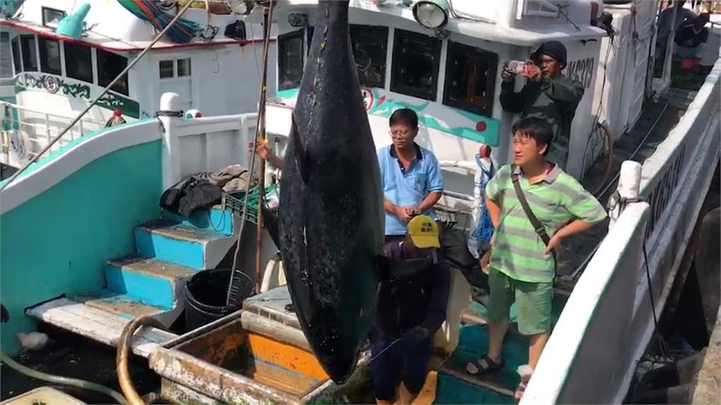 天熱水溫高 各大漁港黑鮪魚捕獲大增