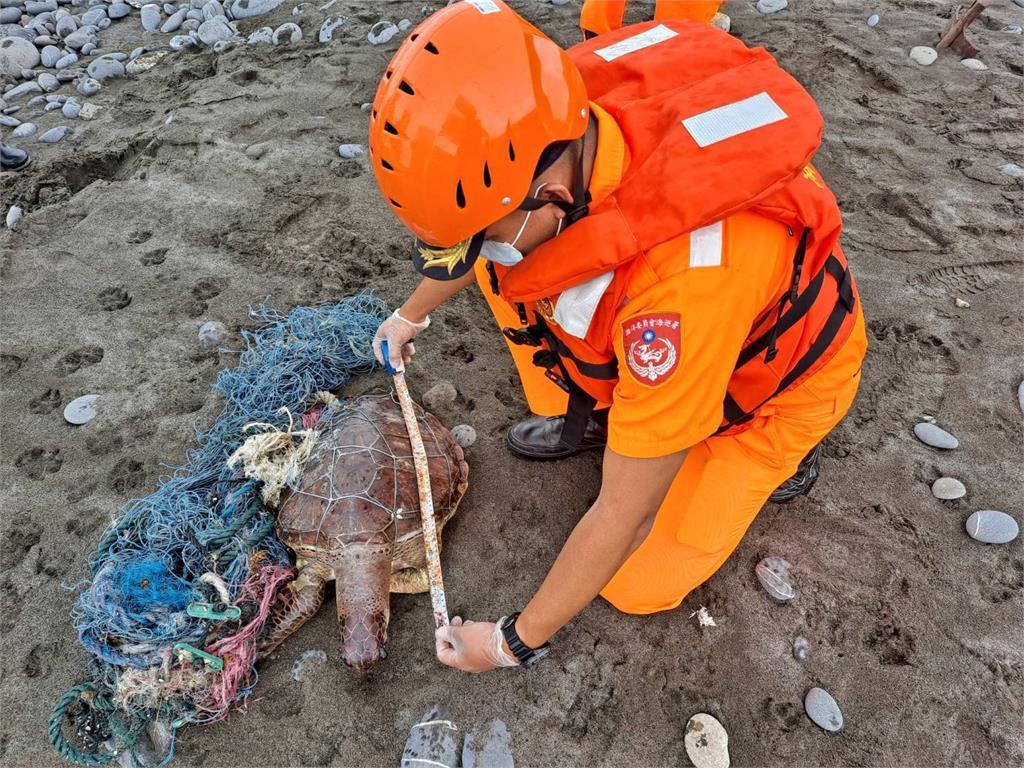 快新聞/廢漁網纏繞海龜 成年「綠蠵龜」命喪磯崎岸邊
