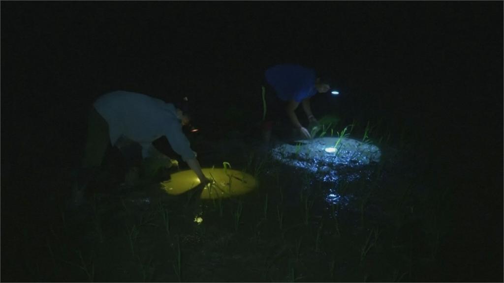 日落而作 日出而息 越南稻農半夜種稻避暑