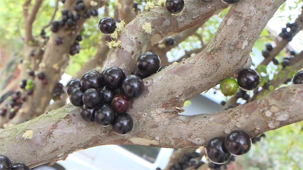 觀光工廠出招拚生存 樹葡萄吸客、米廠戶外展強勢宣傳