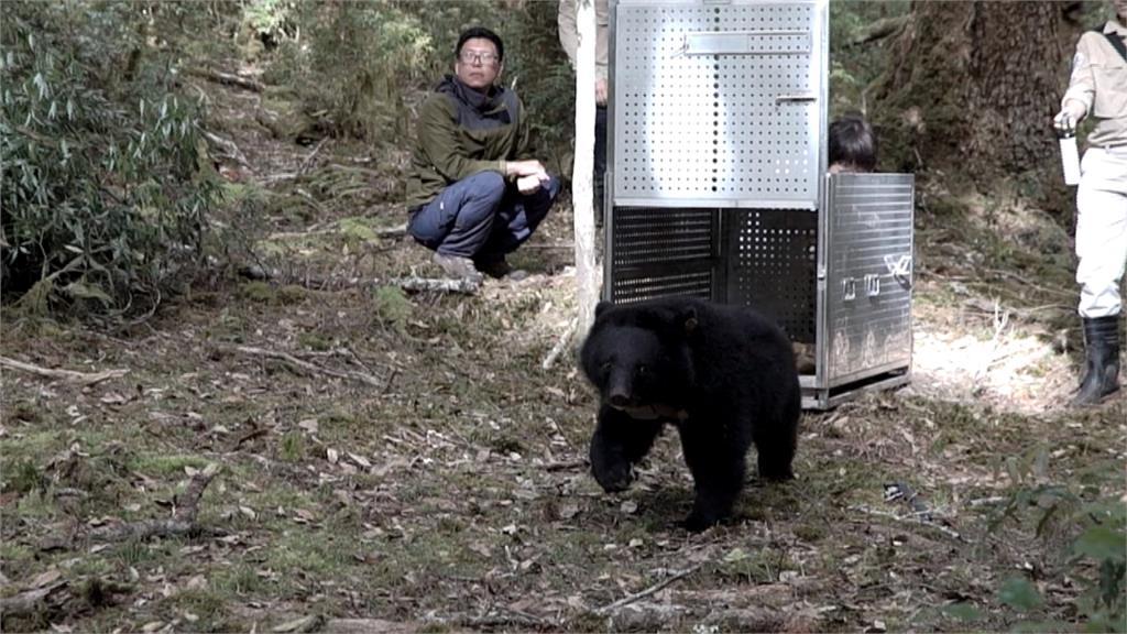 廣原小熊回家了!達到「畢業標準」野放奔回森林