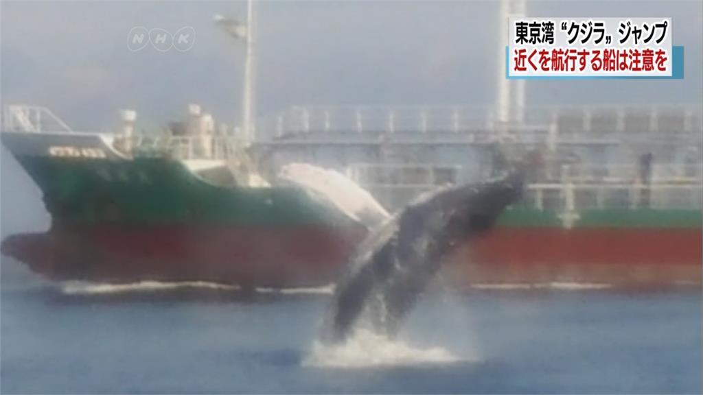 大「鯨」奇!日本東京灣15米長鯨魚現蹤