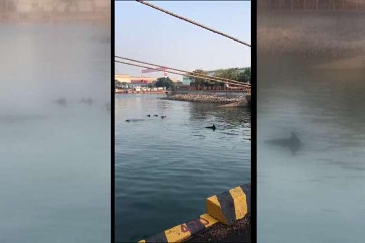 意外訪客!10隻小虎鯨誤闖高雄港 釣客驚呼