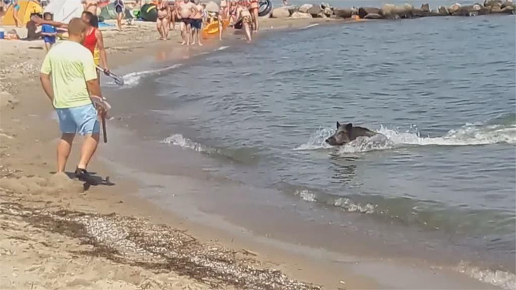 德國海濱野豬衝沙灘 泳客驚呼讓路