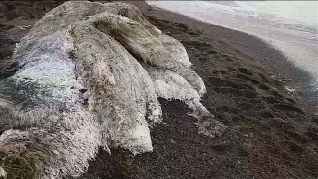 比人大三倍! 俄羅斯海岸出現「毛茸茸海怪」