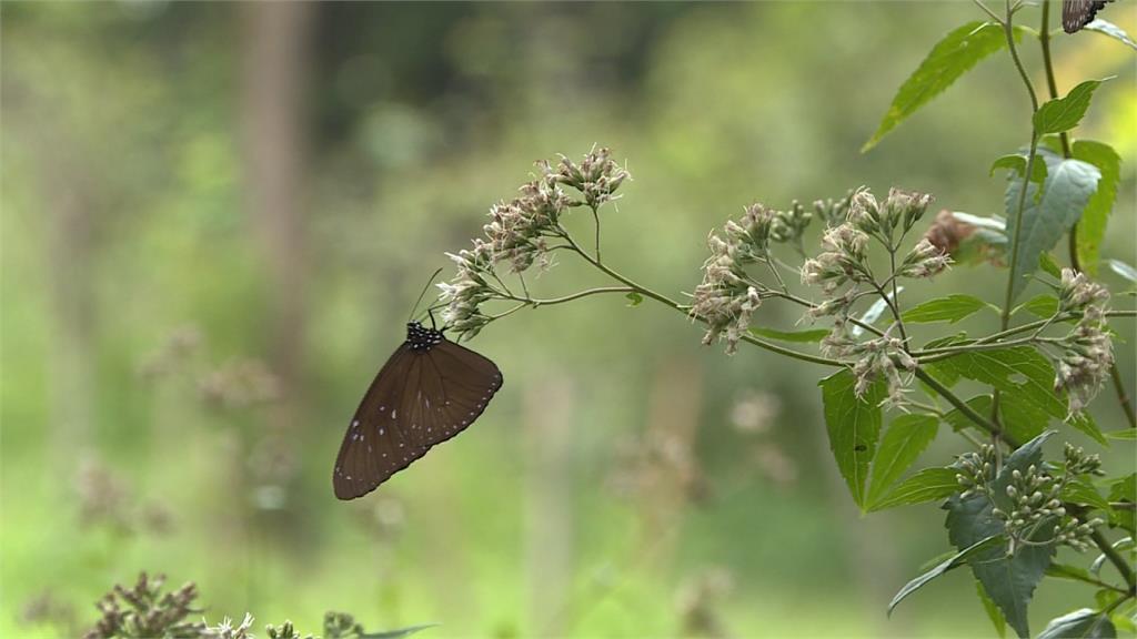 斑蝶威爾鋼!群蝶飛舞圍繞「蜜源植物」
