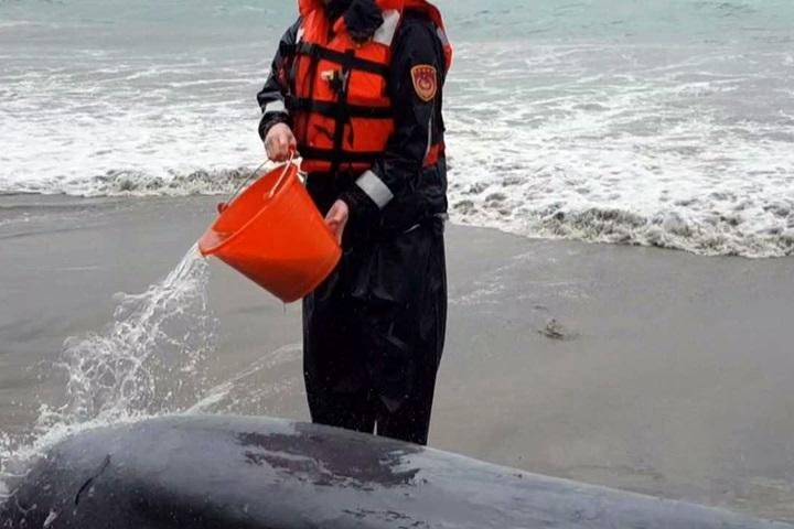 小抹香鯨擱淺金山  海巡緊急潑水救援