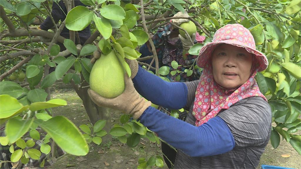 6號颱風海陸警齊發 柚農急採收.固定枝幹