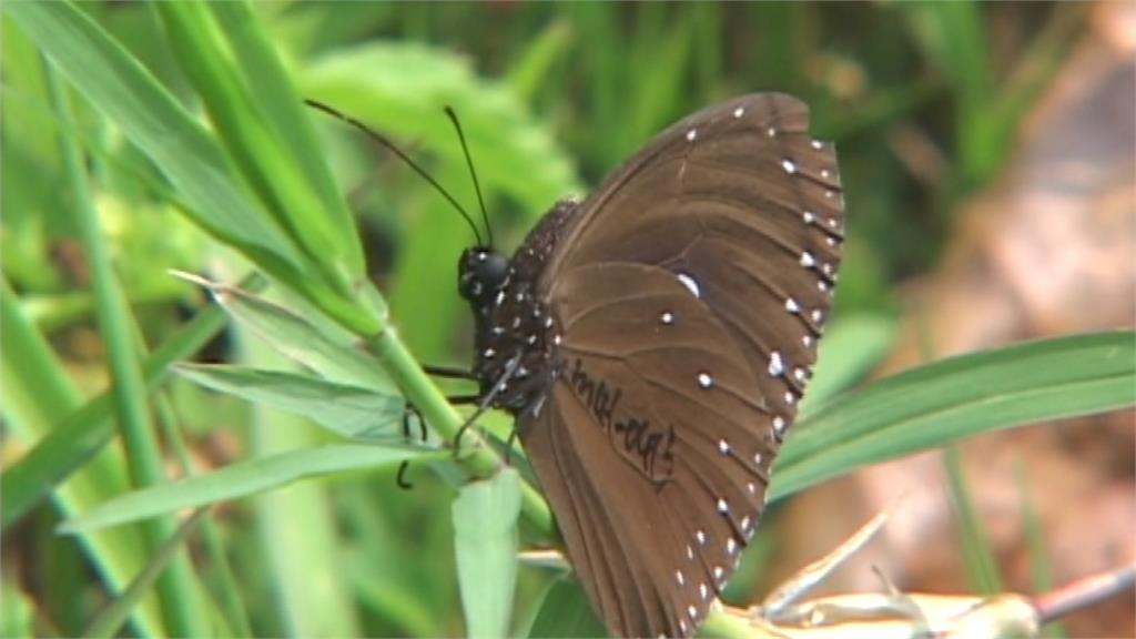 紫斑蝶春天南飛不尋常 蝴蝶專家點出原因