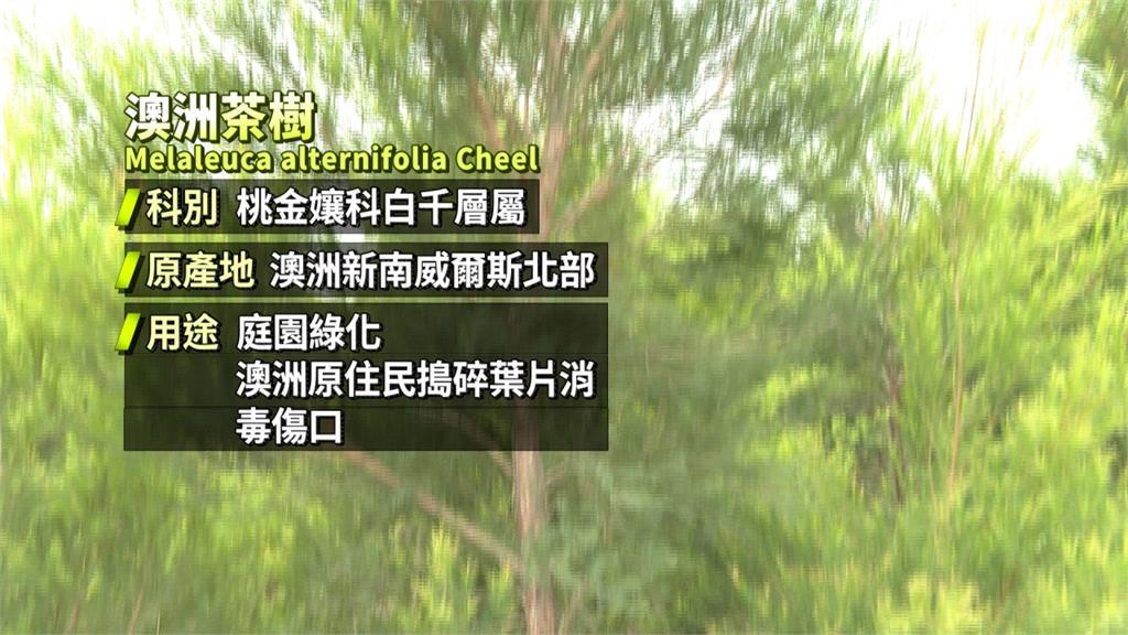 乾洗手外的新選擇!國產「茶樹精油」抗菌效果佳