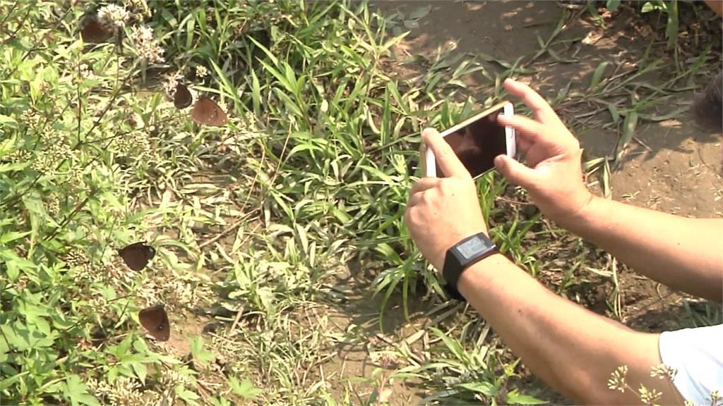 紫斑蝶預期爆量!林內紫斑蝶季改攝影比賽