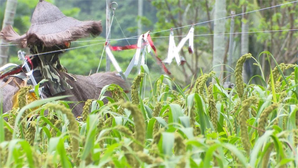 避免劇毒驅鳥憾事重演 新設老鷹棲架護農作又保生態
