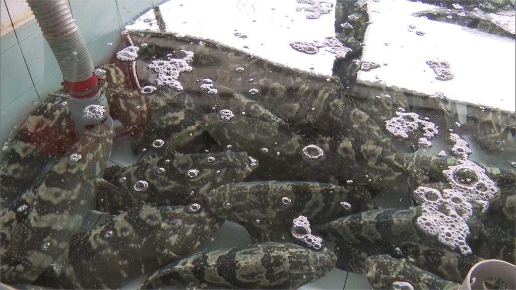 武漢肺炎疫情影響!中國全面中止「石斑魚」訂單
