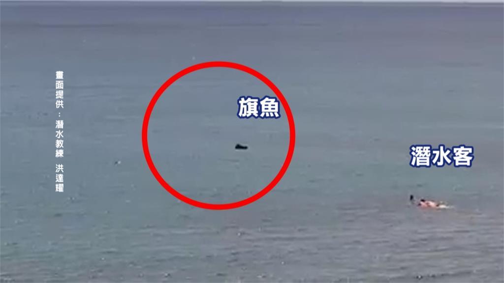 旗魚誤闖恆春萬里桐漁港 漁民持標槍獵殺