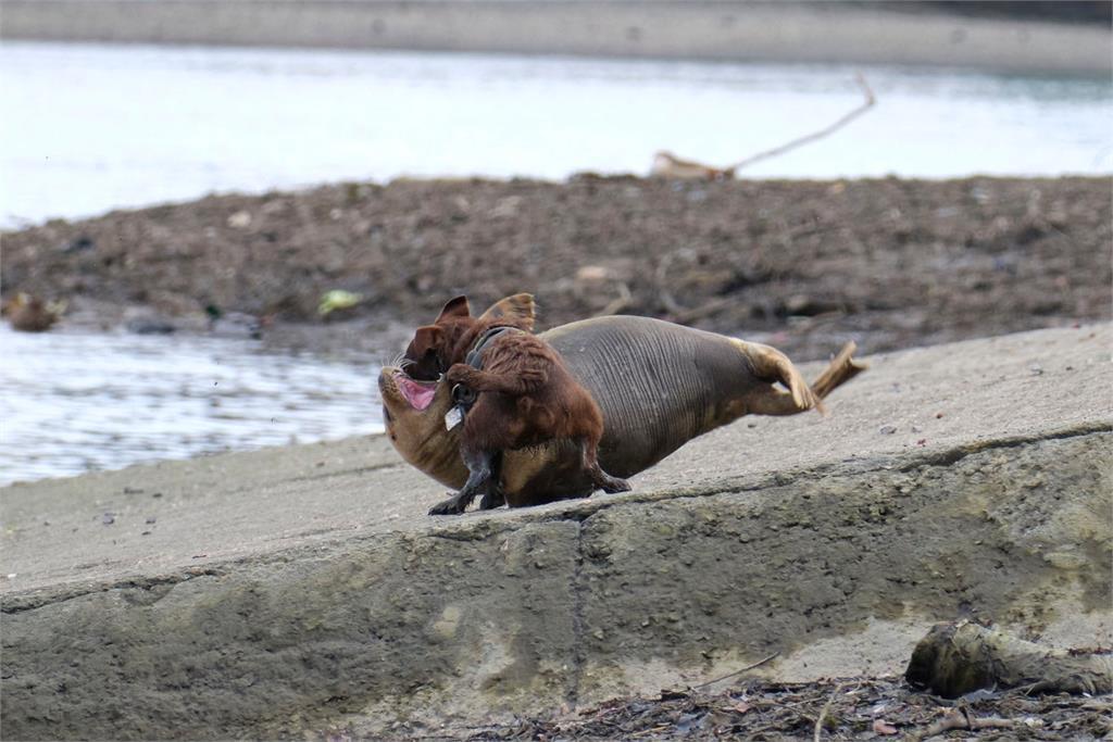 心碎!律師遛狗沒牽繩 小海豹遭「狠咬2分鐘」傷重不治