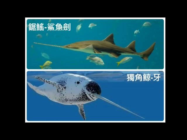 快新聞/ 海巡署破獲量創史高 瀕危海洋動物慘遭製成「鯊魚劍」