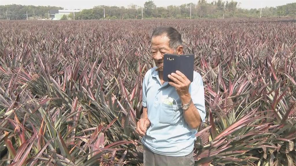 中國禁鳳梨...大樹「鳳梨伯」損失千萬   遭冒總統府名義訂180箱鳳梨 這次不忍了