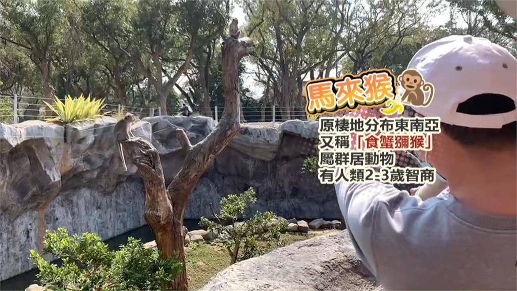 「上班時間」猛滑手機!竹市動物園馬來猴當低頭族超萌