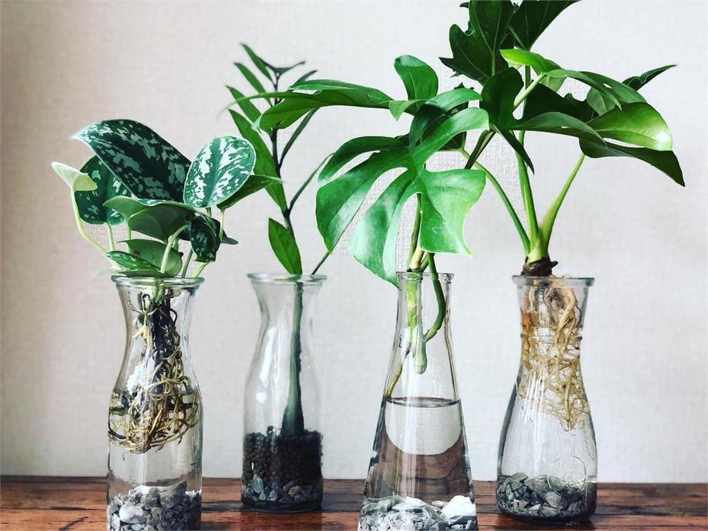 水耕、苔球比土耕乾淨?觀葉植物不同種植方式的優缺點