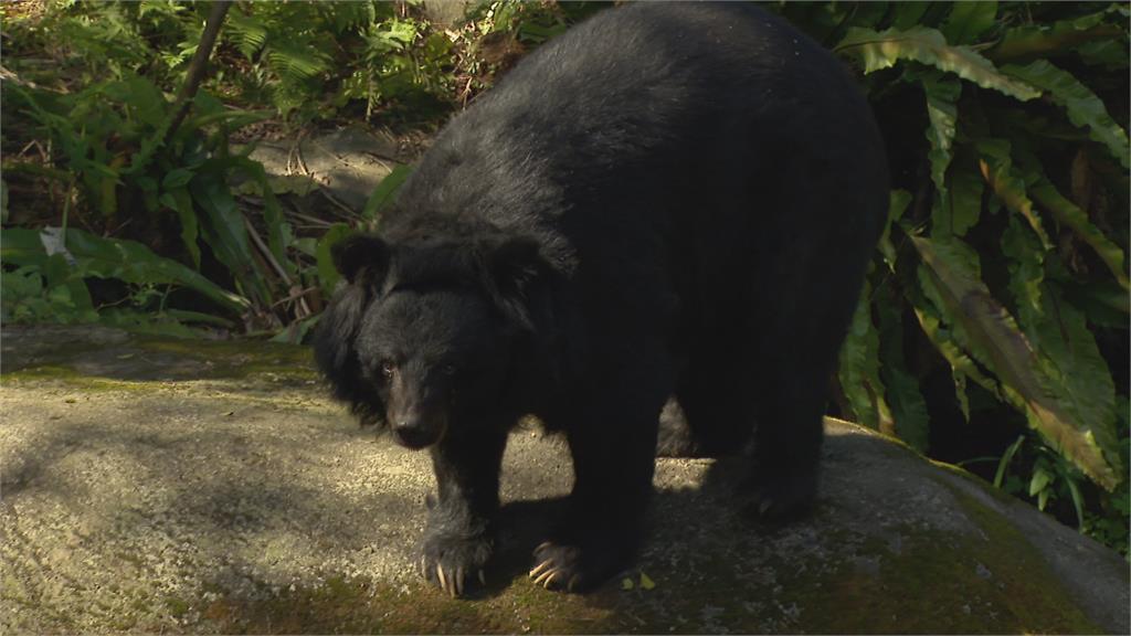 園內台灣黑熊很削瘦 動物園:逾30歲高齡