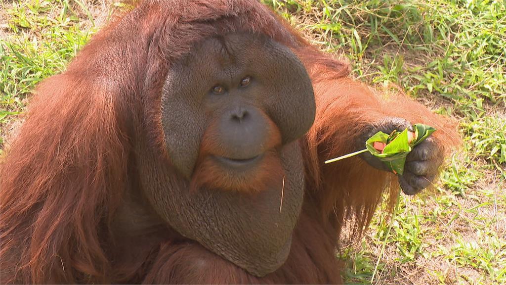 嘴巴塞滿也要吃! 胭脂猴紛搶美味水果粽