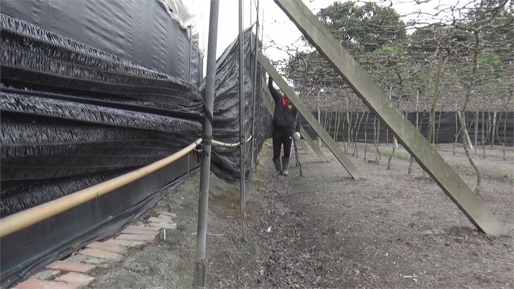葡萄也怕冷!防寒3撇步點燈.圍網.澆地下水