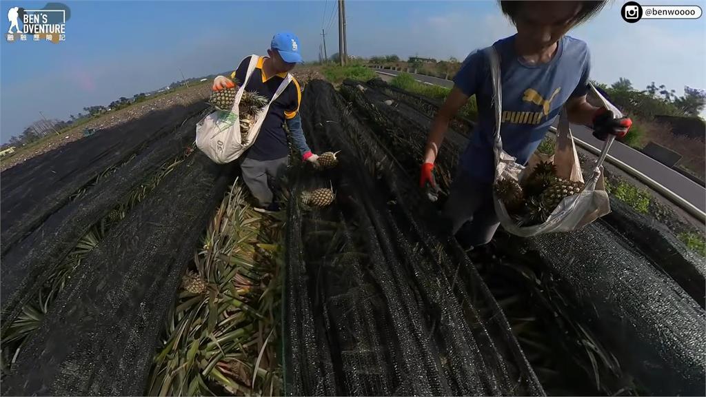 摘葉沖水再噴洗!外銷日本關卡多 成就金鑽鳳梨完美品質