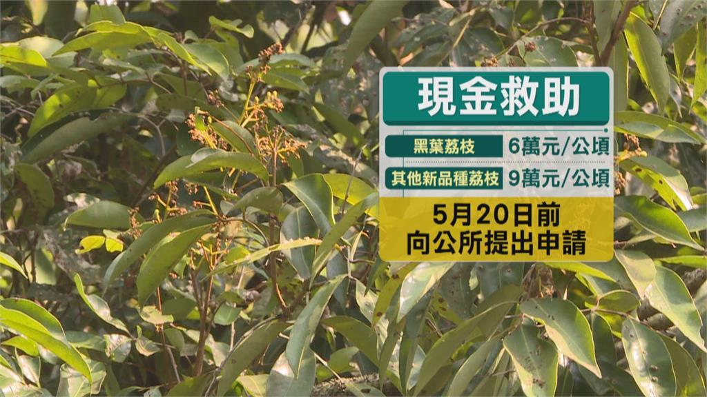 荔枝樹梢枝椏不到5成  缺株、果粒小