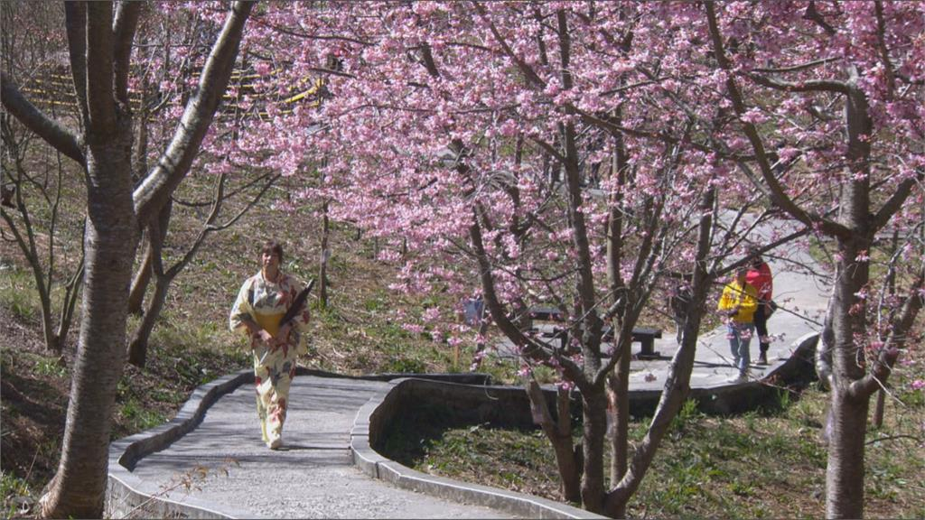 13公頃櫻花盛開 福壽山農場成粉紅秘境