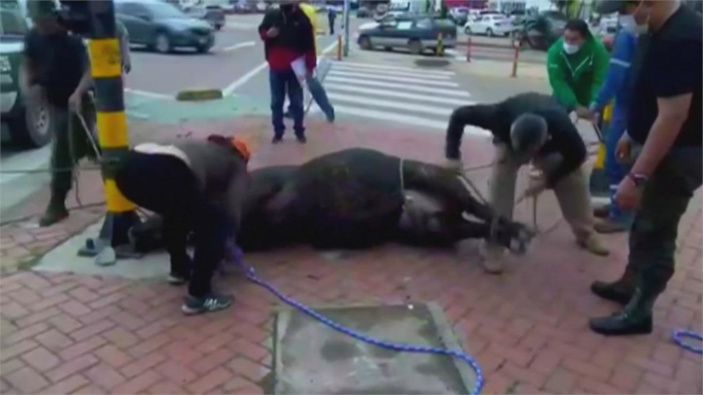 大馬路上民眾遭牛隻追逐衝撞 至少4人受傷