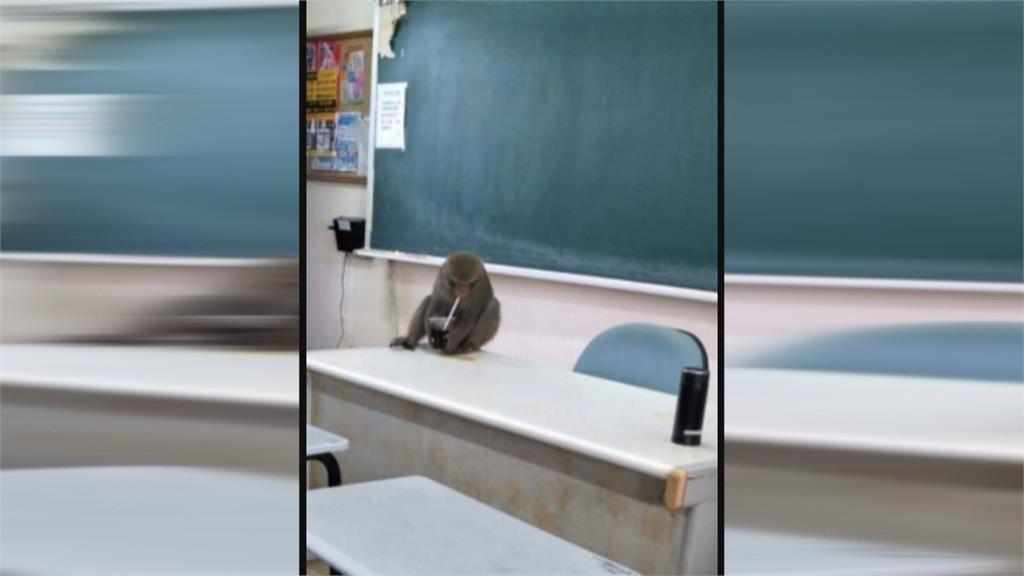 這位教授長得不太一樣!獼猴坐辦公桌前引發熱議