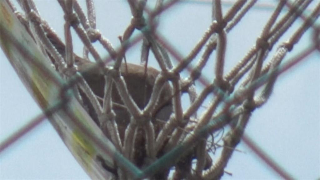 奇觀! 員林運動公園球場防疫禁投籃 驚見斑鳩佔籃網築巢