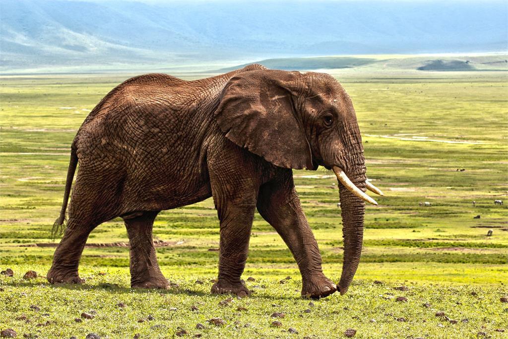 午夜傳1聲巨響?驚見大象破牆搜刮廚房 屋主崩潰:牠是常客!