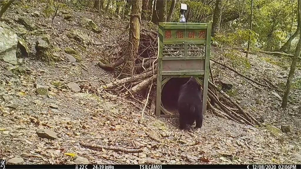 玉山塔塔加園區拍到黑熊現蹤  數量不少 復育成功