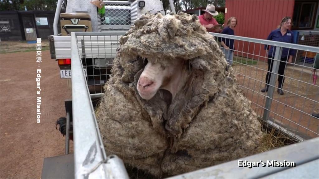 流浪多年綿羊長成這樣 剃掉羊毛重35公斤