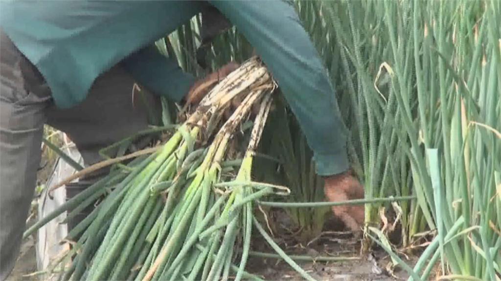 三星蔥回娘家!16噸吉安蔥展現成果!去年宜蘭大雨不斷 移地保種大搶救
