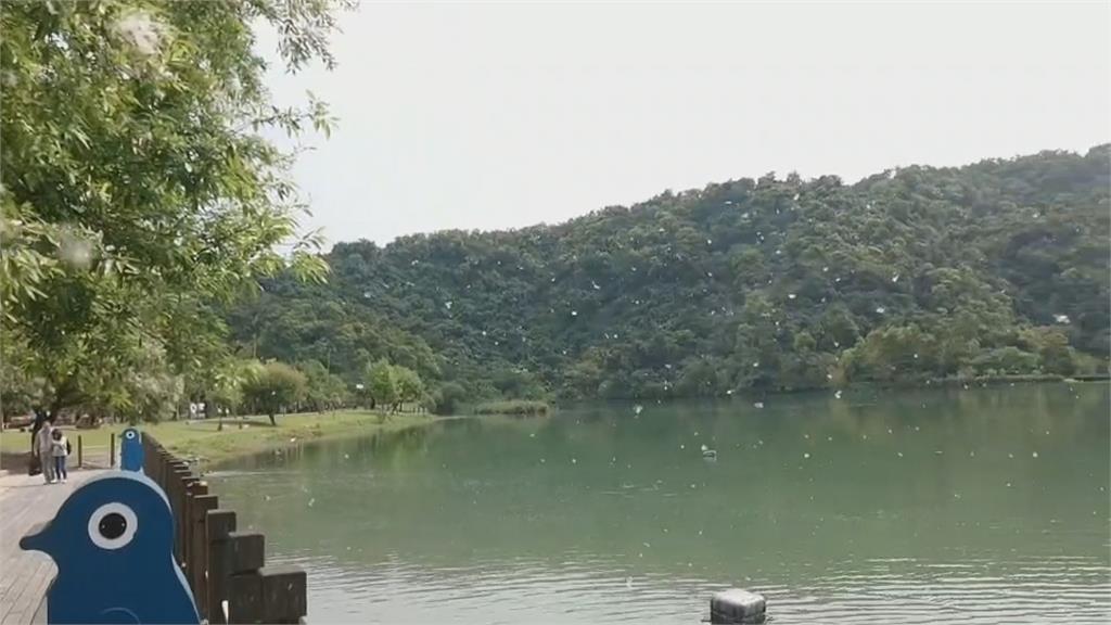水柳大爆發! 柳絮飛舞 梅花湖旁堆起「三月雪」