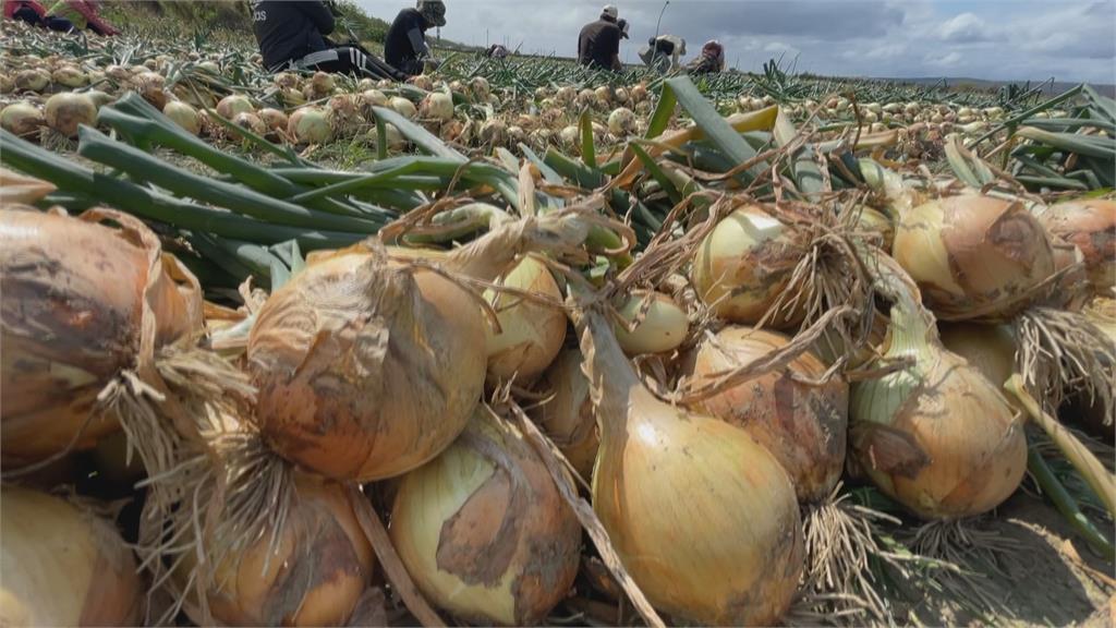 笑不出來!恆春洋蔥進入採收期價格低迷農友盼政府出手:盼比照鳳梨或紅豆