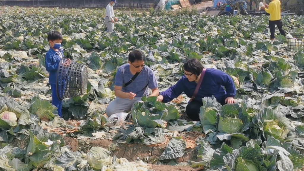 農民開放自採高麗菜「每顆10元」划算!民眾228連假樂當一日農夫