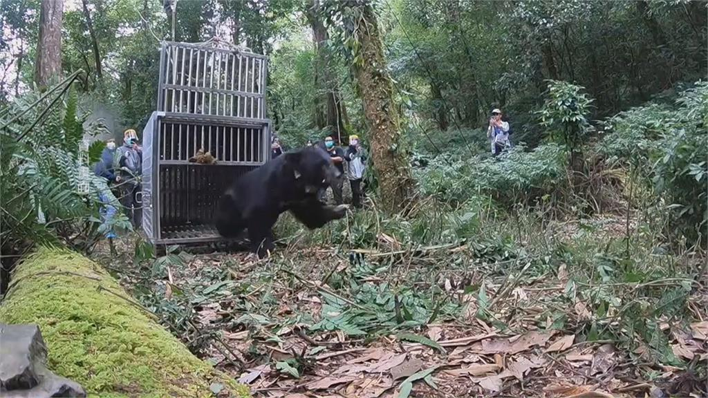 驅熊變救熊!黑熊野放下山 誤中山豬套陷阱