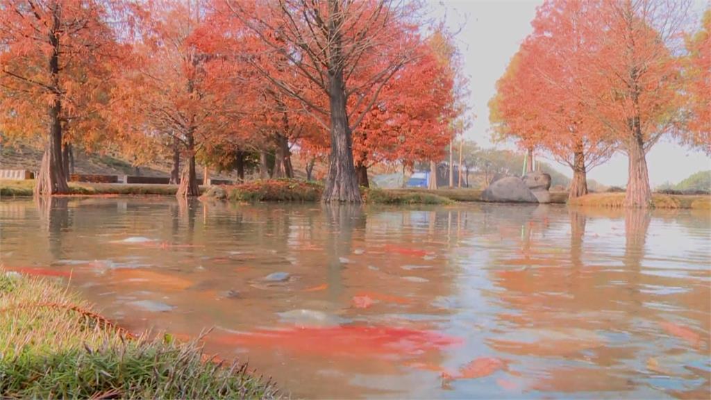 橘紅落羽松池水中倒映 如置身歐洲森林