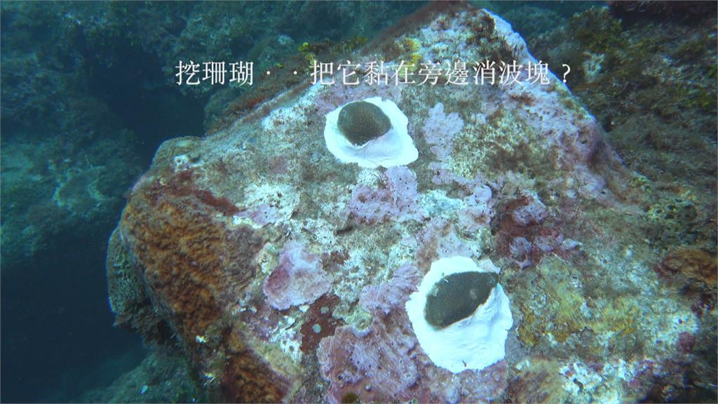 挖掘活珊瑚挨轟?海生館:合法珊瑚復育計畫