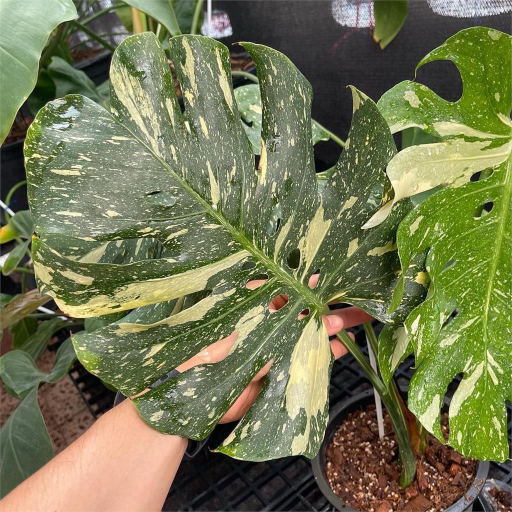花萬元還不一定買的到!16棵觀葉植物「夢幻逸品」超乎你想像