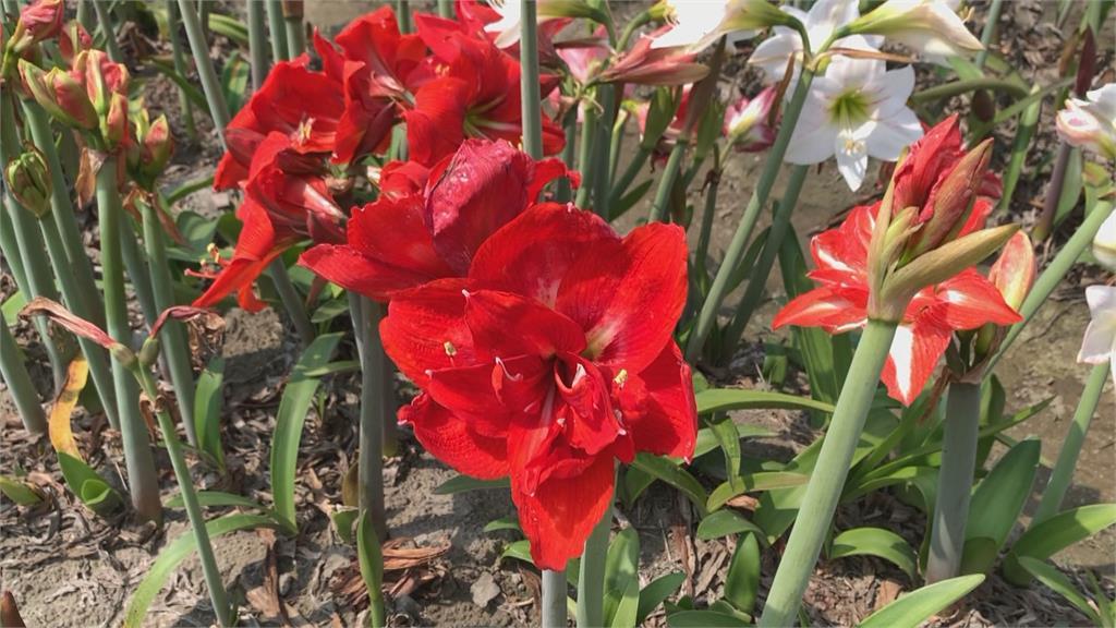 為何孤挺花又稱「媽祖花」?2公頃孤挺花園吸引朝聖...就在這邊
