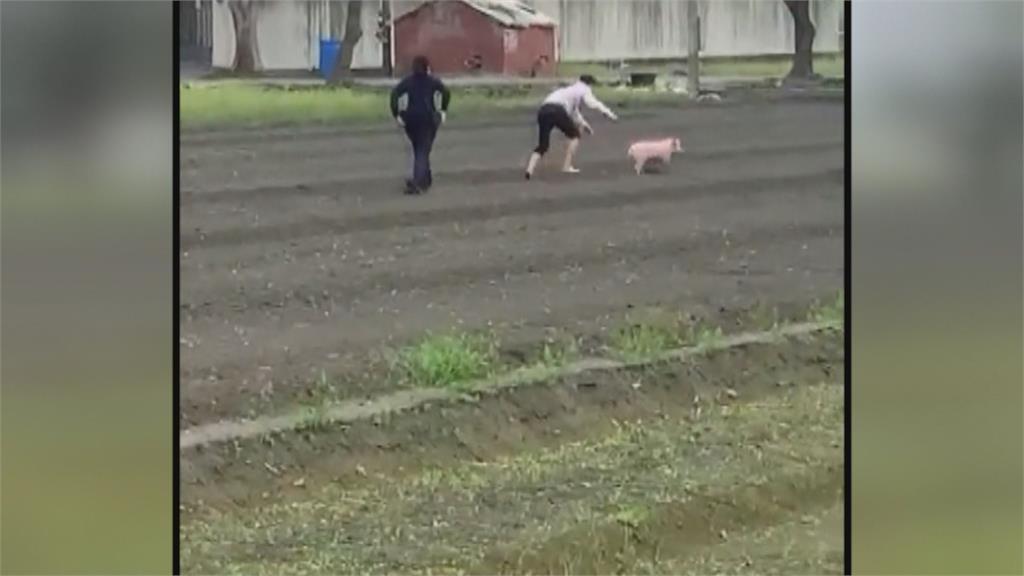 誰家的豬蹺家?大年初一警察忙抓豬