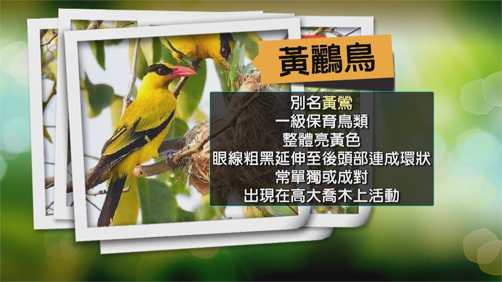 幼鳥離巢前即遭捕捉! 鳥友排班守護黃鸝鳥