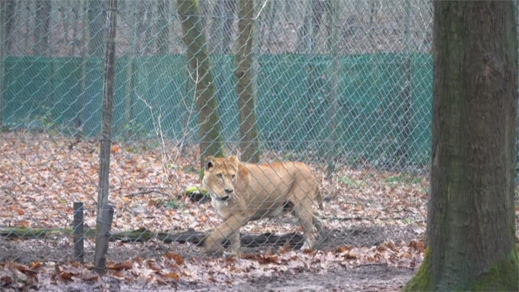 荷蘭為小獅寶寶注射貓流感疫苗  齜牙咧嘴