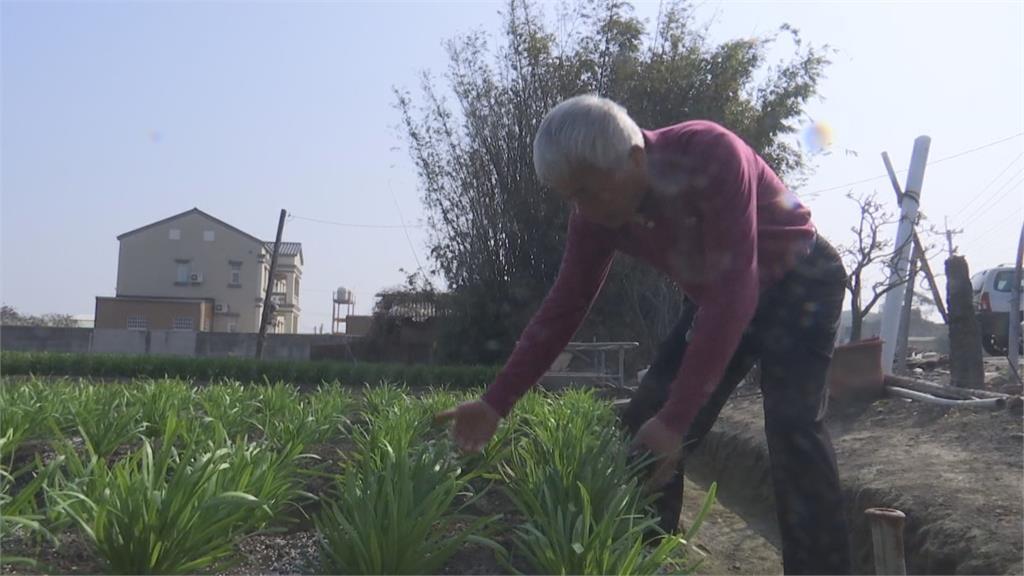 不只散戶被「割韭菜」 彰化菜農也被偷割